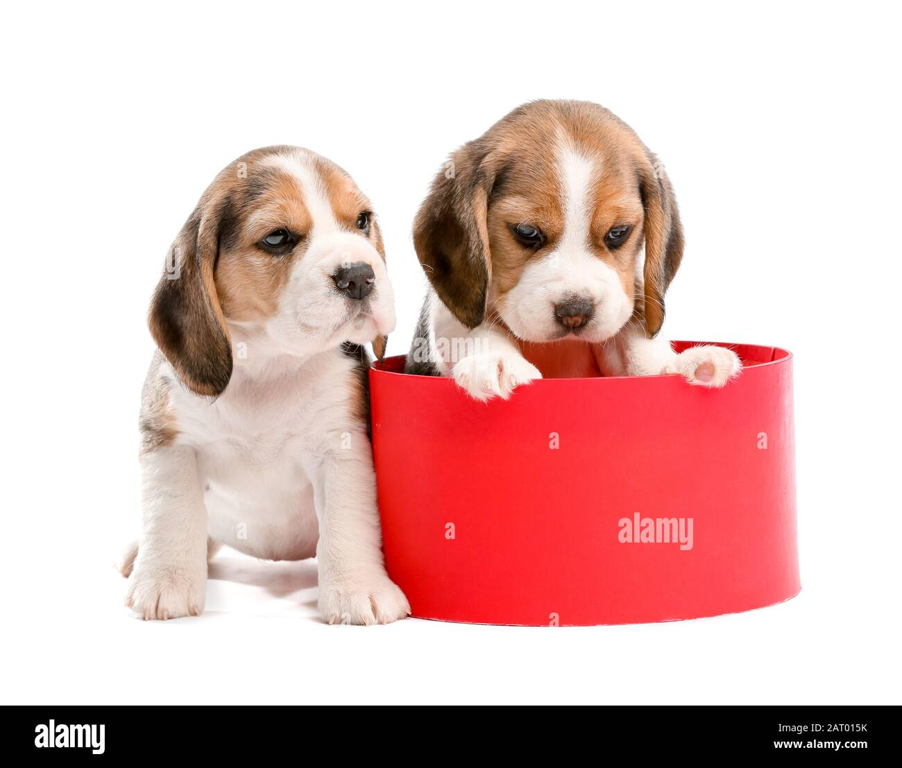 Cute Beagle Puppies With Gift Box On White Background Stock Photo Alamy