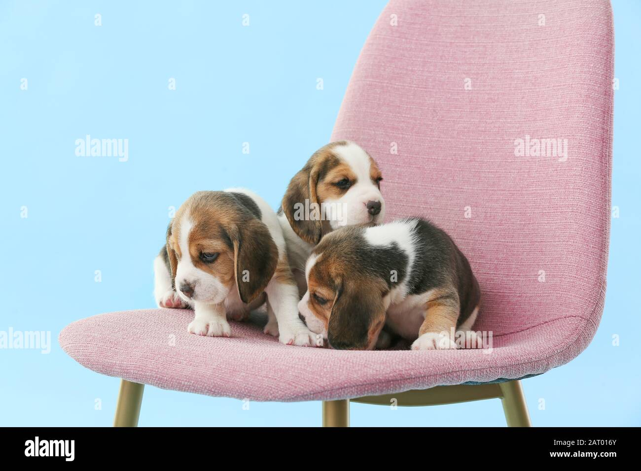 Cute Beagle Puppies On Chair Against Color Background Stock Photo Alamy