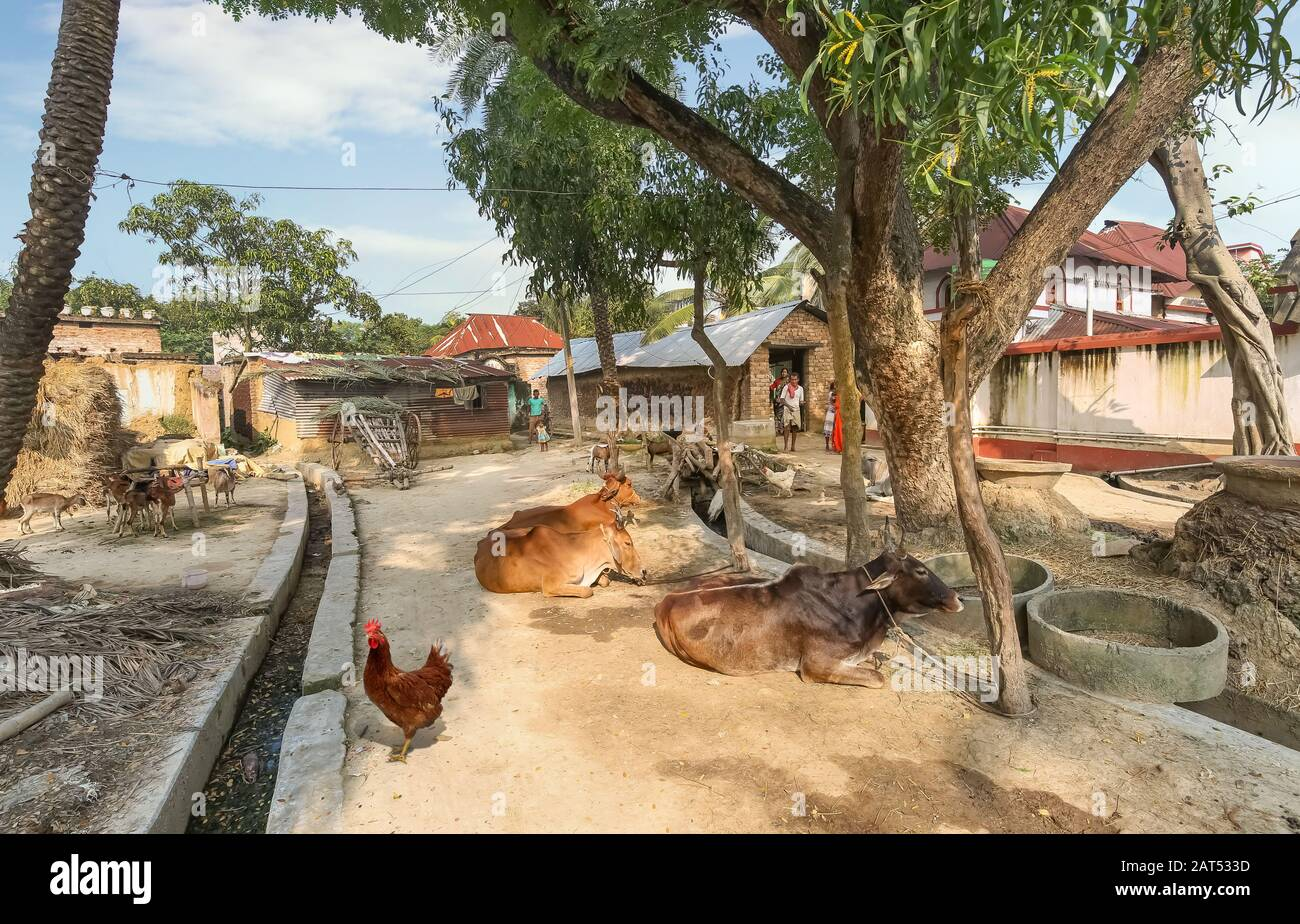 Rural Indian village scene with view of mud houses huts and village cattle at a tribal village in West Bengal, India Stock Photo