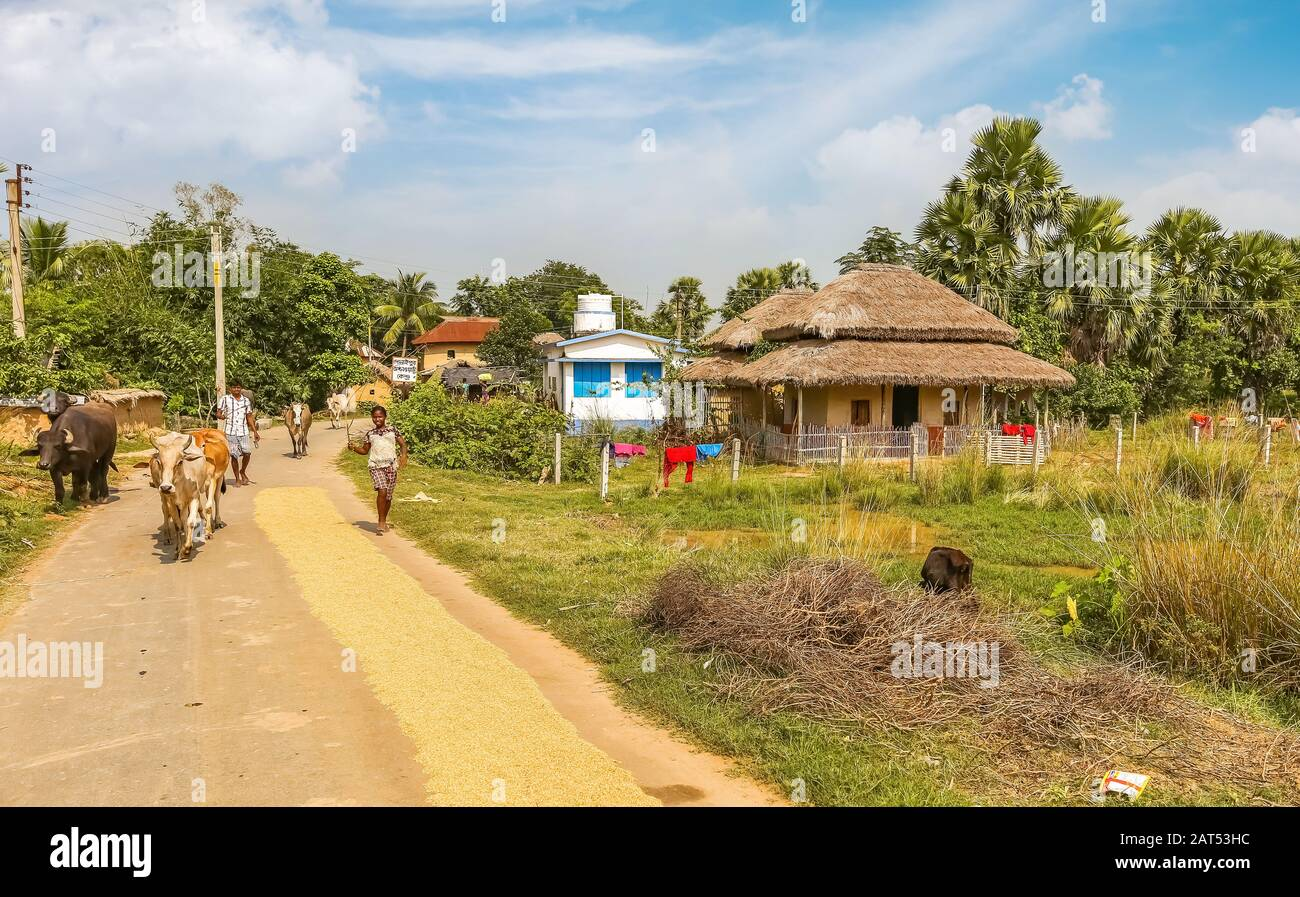 Scenic village road with view of villagers taking their cows for grazing. Photograph shot at the countryside at Bolpur, West Bengal Stock Photo