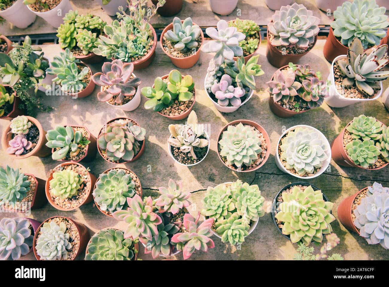 Miniature Succulent Plant In Pot Various Types Mix Of Collection