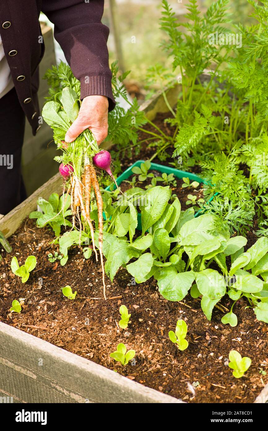 A pensioner easily picking fresh salad vegetables grown in a raised wooden planter in Wiltshire England UK Stock Photo