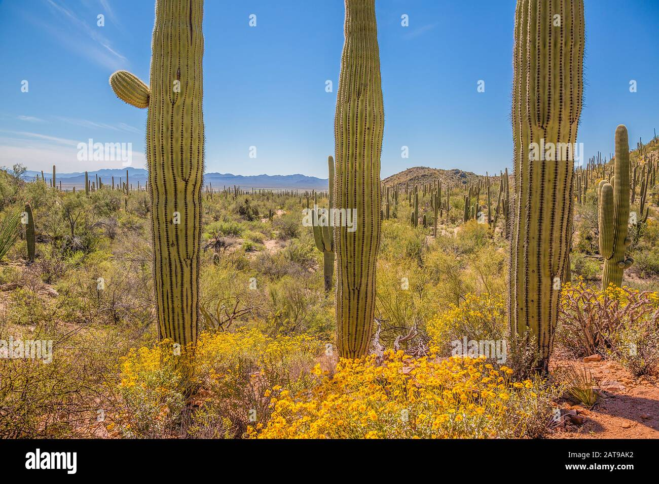 Saguaro National Park forest and byways in Arizona desert under blue sky Stock Photo