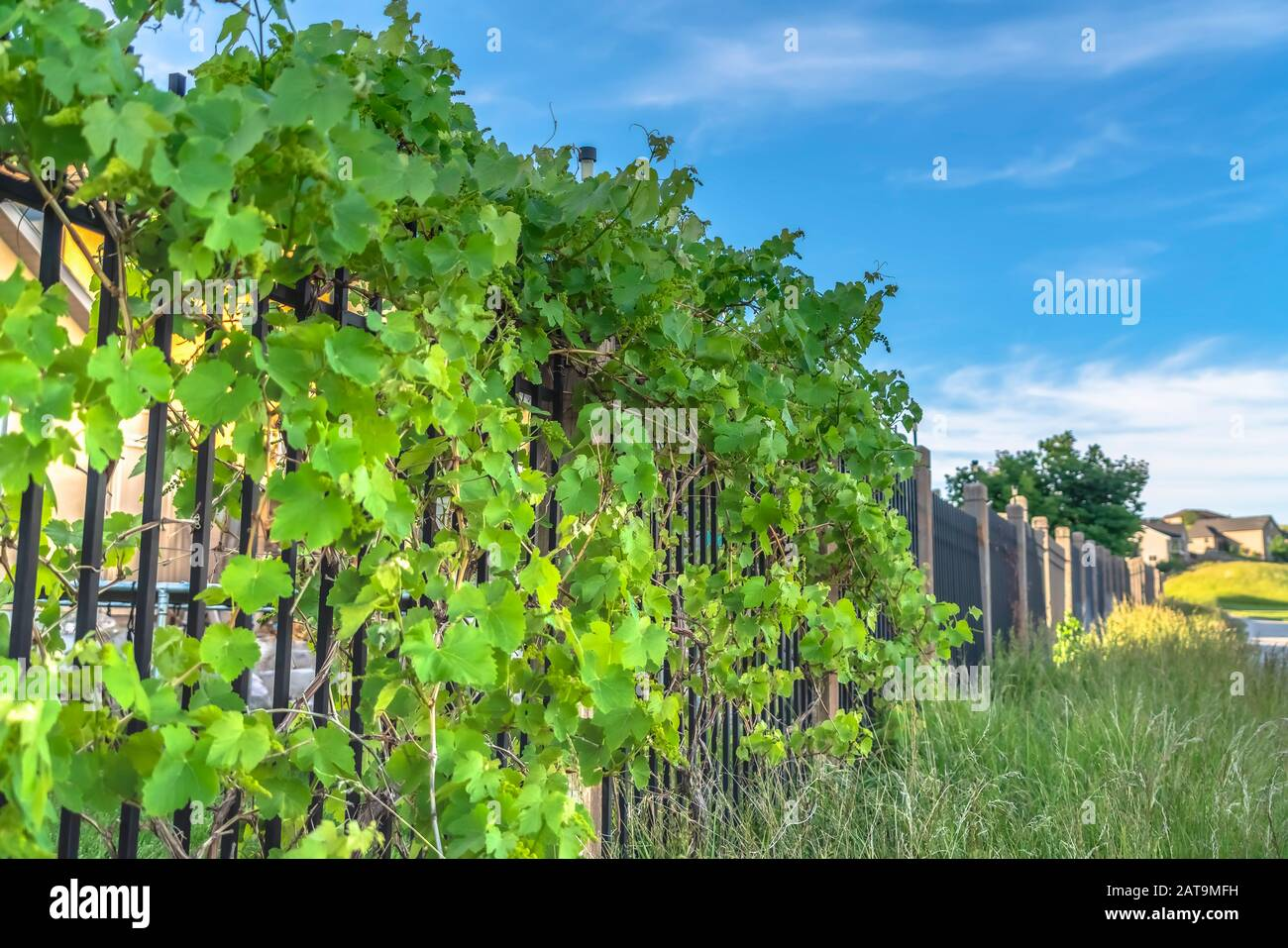 Lush Vines With Vibrant Green Leaves Growing On The Black Metal Fence Of Homes Stock Photo Alamy