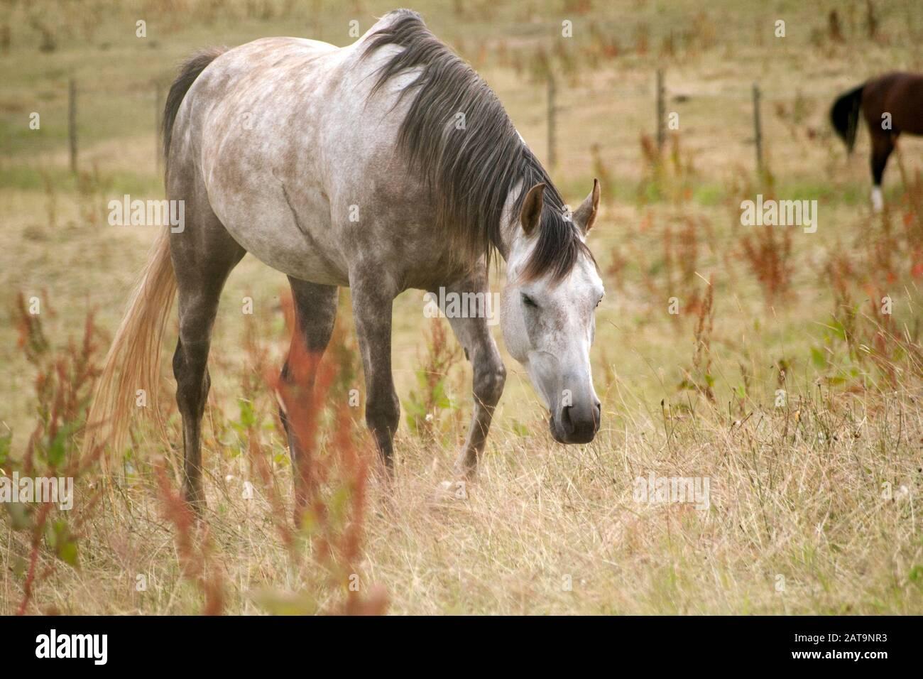 Dapple Grey Arab Horse In Meadow Stock Photo Alamy