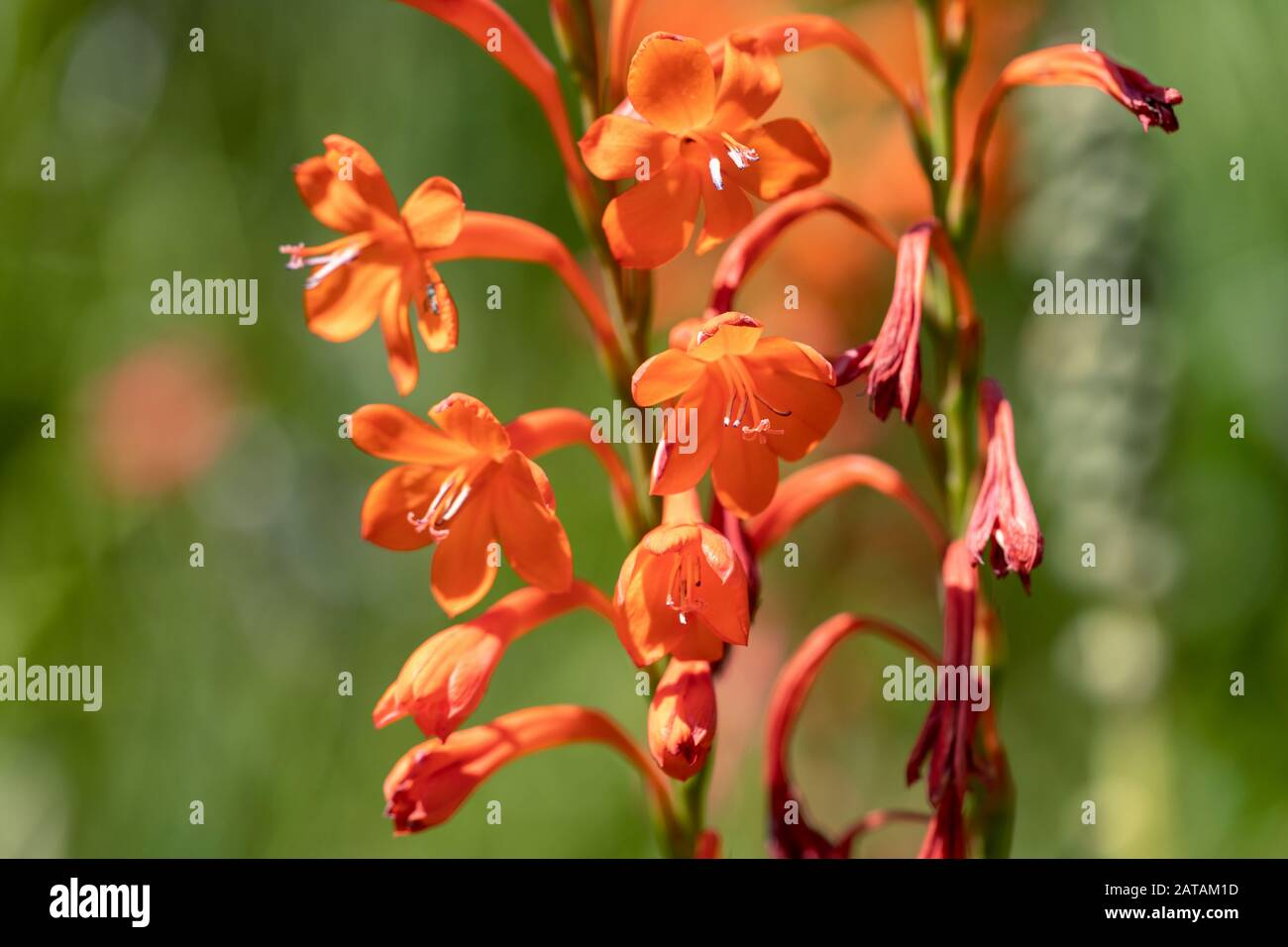 Watsonia Plant High Resolution Stock Photography and Images   Alamy