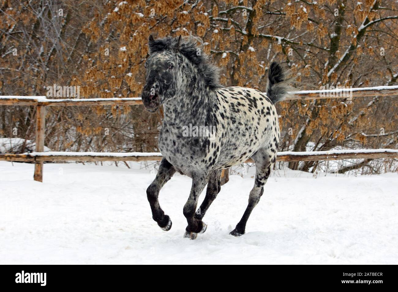 Curly Rare Spotted Horse Breed Galloping In Winter Ranch Stock Photo Alamy