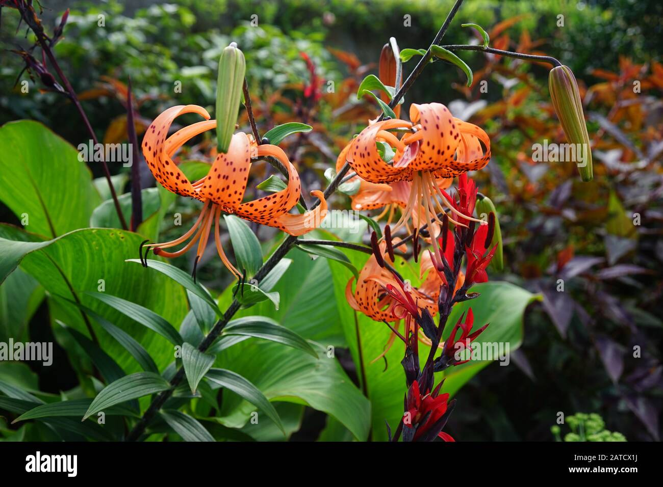 A Beautiful Shot Of Tiger Lilies In The Forest Surrounded By