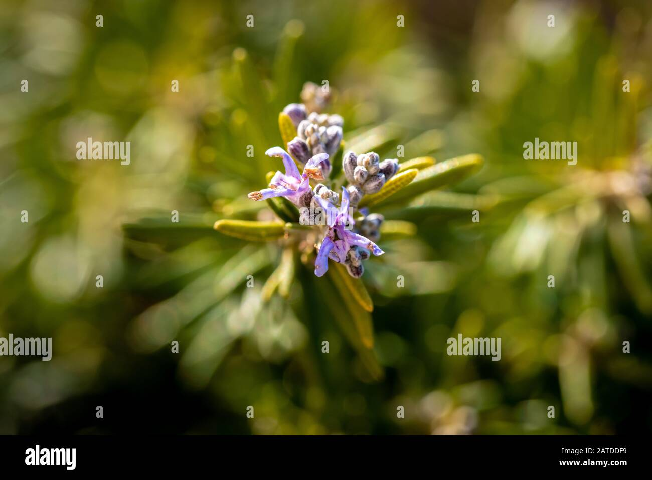Rosemary Vector High Resolution Stock Photography And Images Alamy