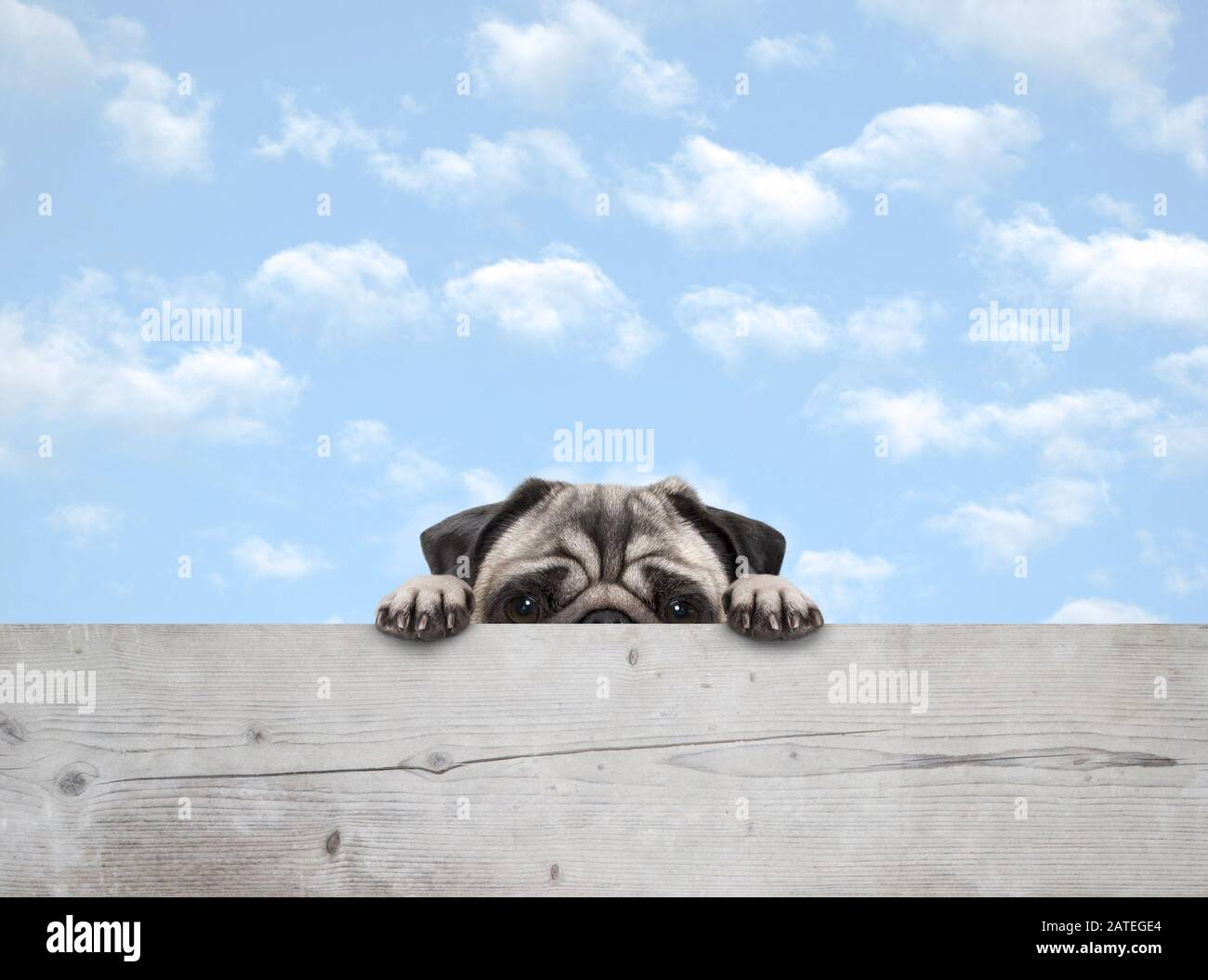 cute shy peekaboo pug puppy dog peeking, with paws on wooden fence banner, with blue sky background Stock Photo