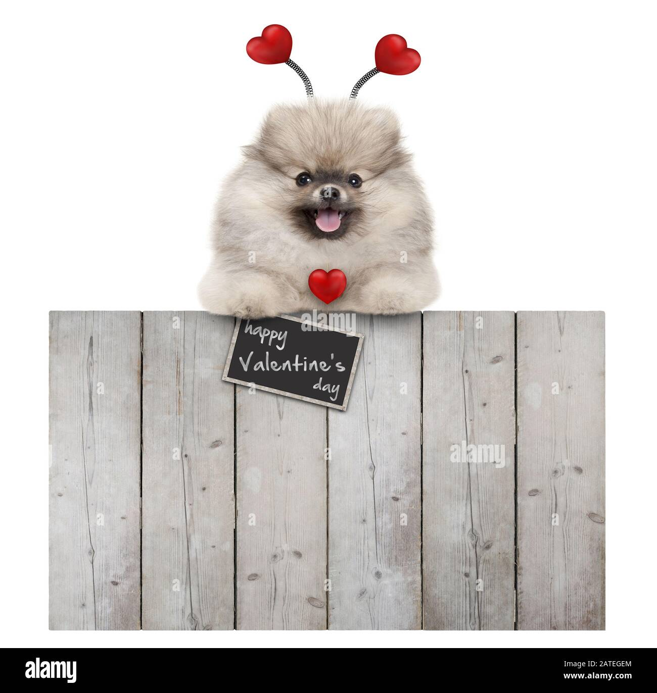 cute smiling pomeranian spitz pug puppy dog with red hearts and sign happy valentine's day, hanging with paws on wooden fence, isolated on white backg Stock Photo