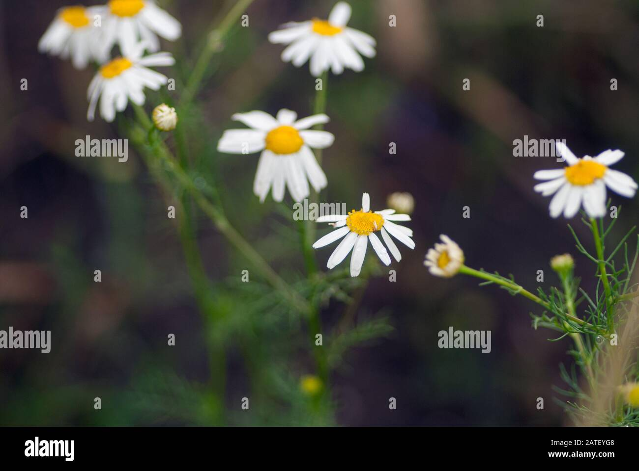 Field Camomiles Macro Shot The Concept Of Nature And Relaxation For Wallpaper Stock Photo Alamy