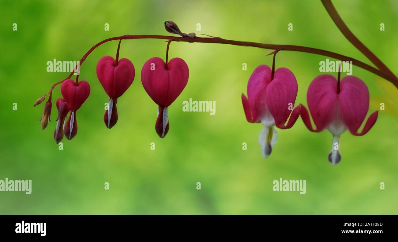 Close up of bleeding hearts flowers  hand in hand on a soft green background Stock Photo