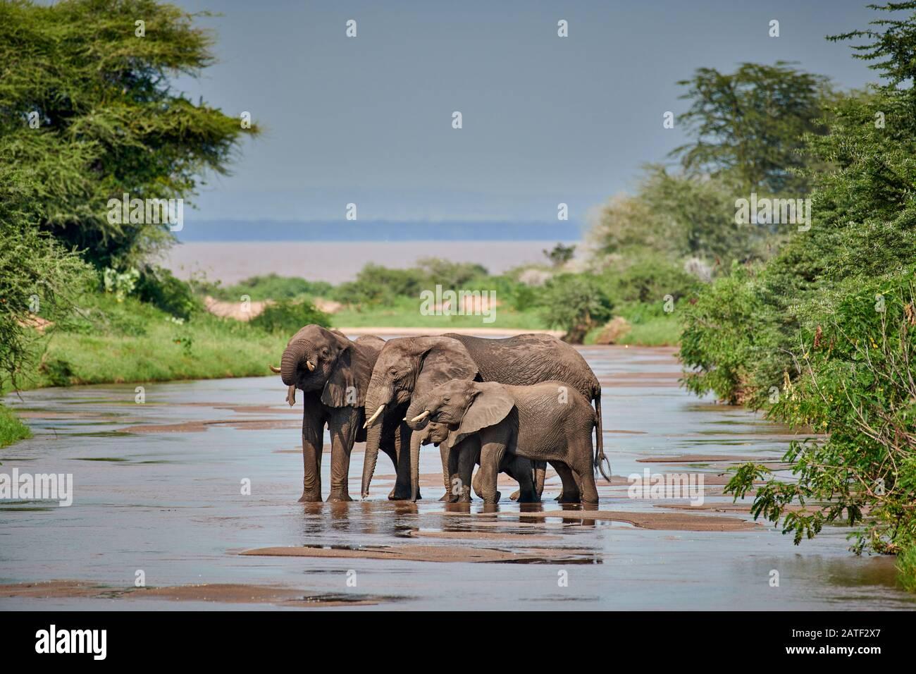 three African bush elephants, Loxodonta africana, standing in river in Manyara National Park, Tanzania, Africa Stock Photo