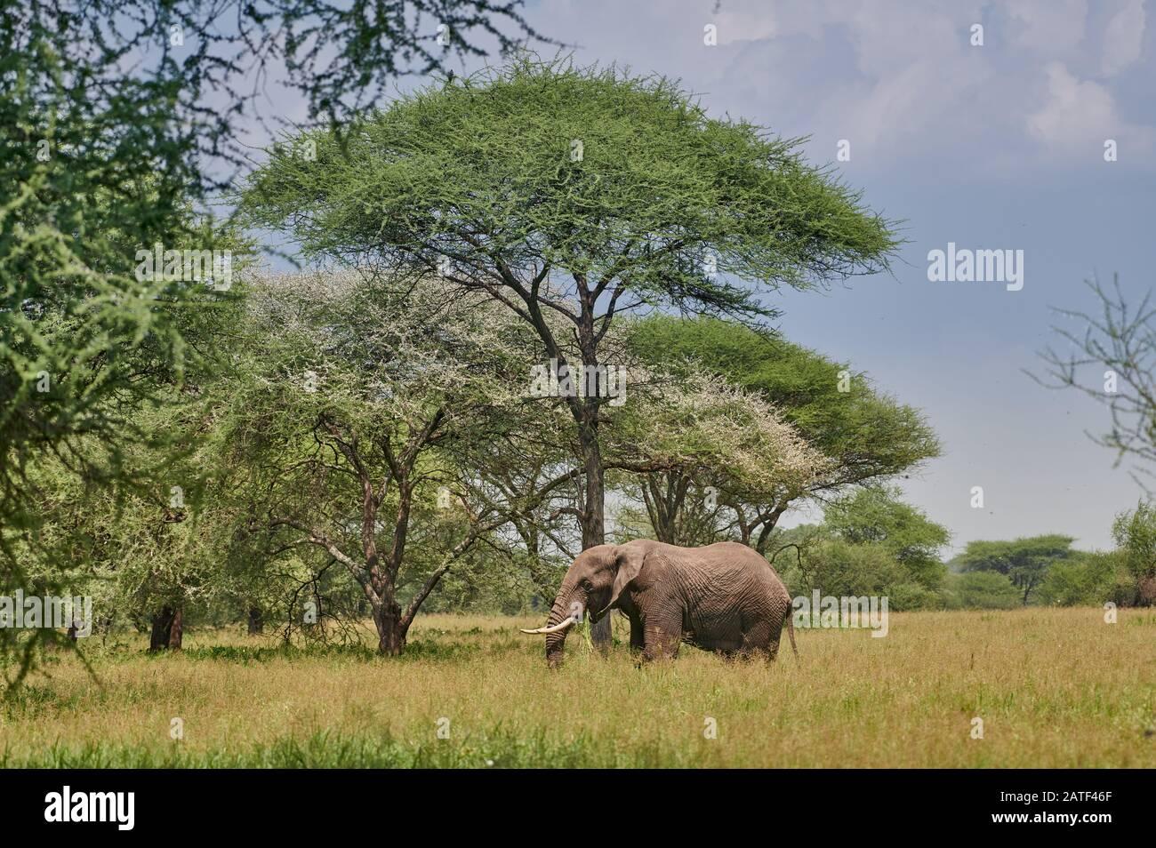 African bush elephant between acacias, Loxodonta africana, in Tarangire National Park, Tanzania, Africa Stock Photo