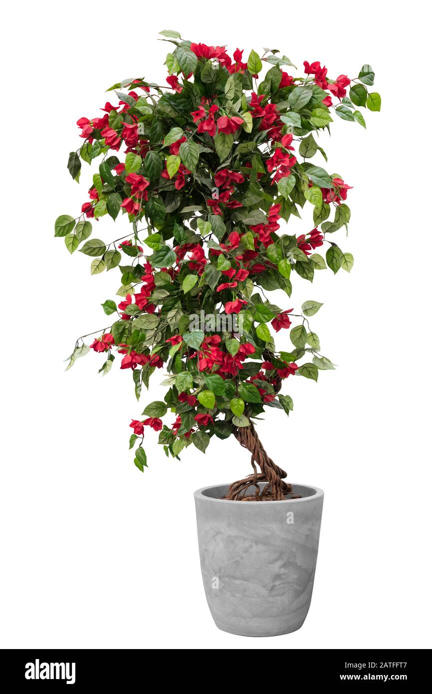Topiary Of Red Flower Tree Plant On The Cray Stone Pot Container Isolated On White Background For Formal European Style Garden Stock Photo Alamy