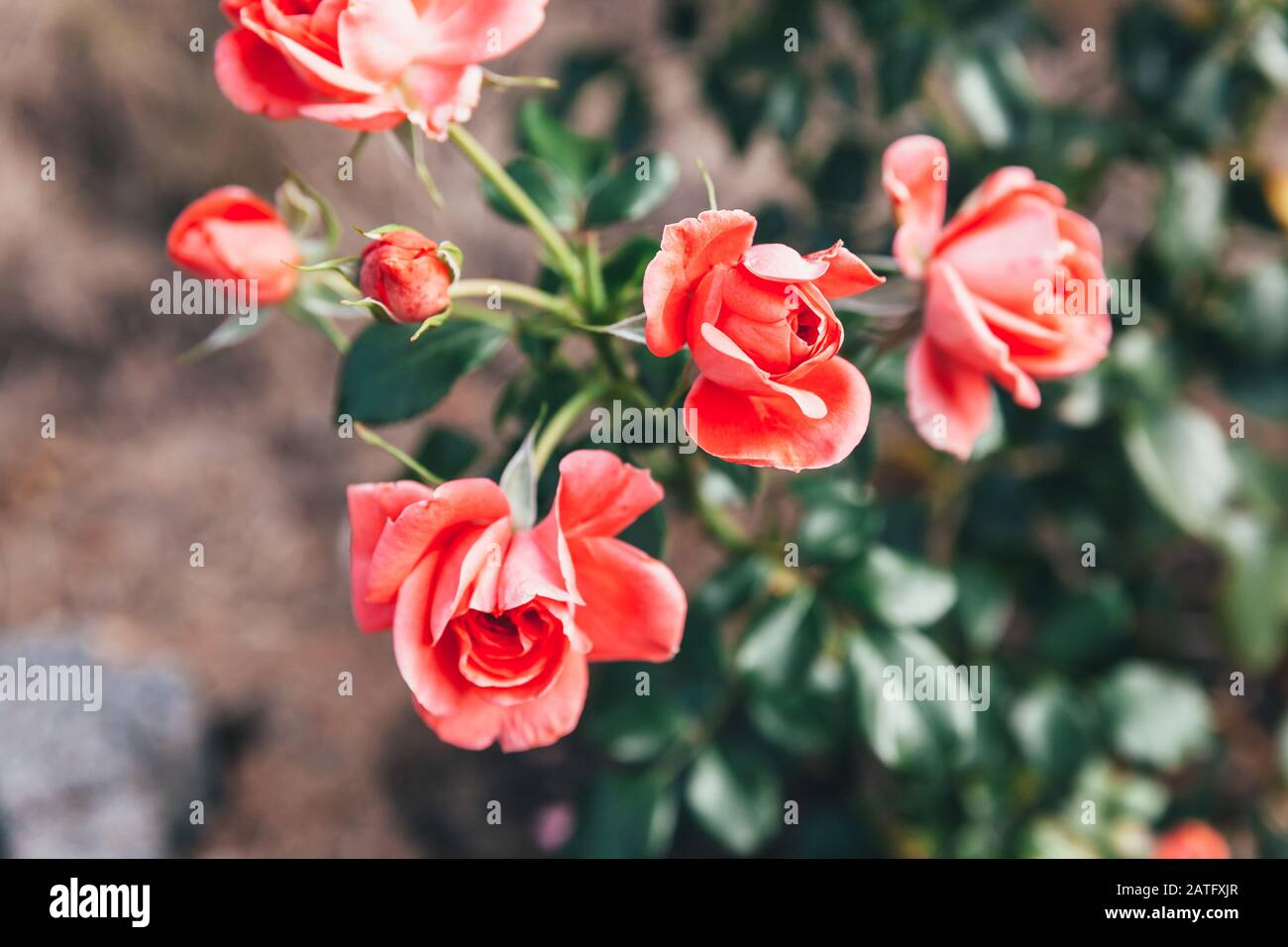 Beautiful Pink Rose Flowers In Summer Time Nature Background With Flowering Red Roses Inspirational Natural Floral Spring Blooming Garden Or Park Backdrop Beauty Flower Vintage Retro Art Design Stock Photo Alamy