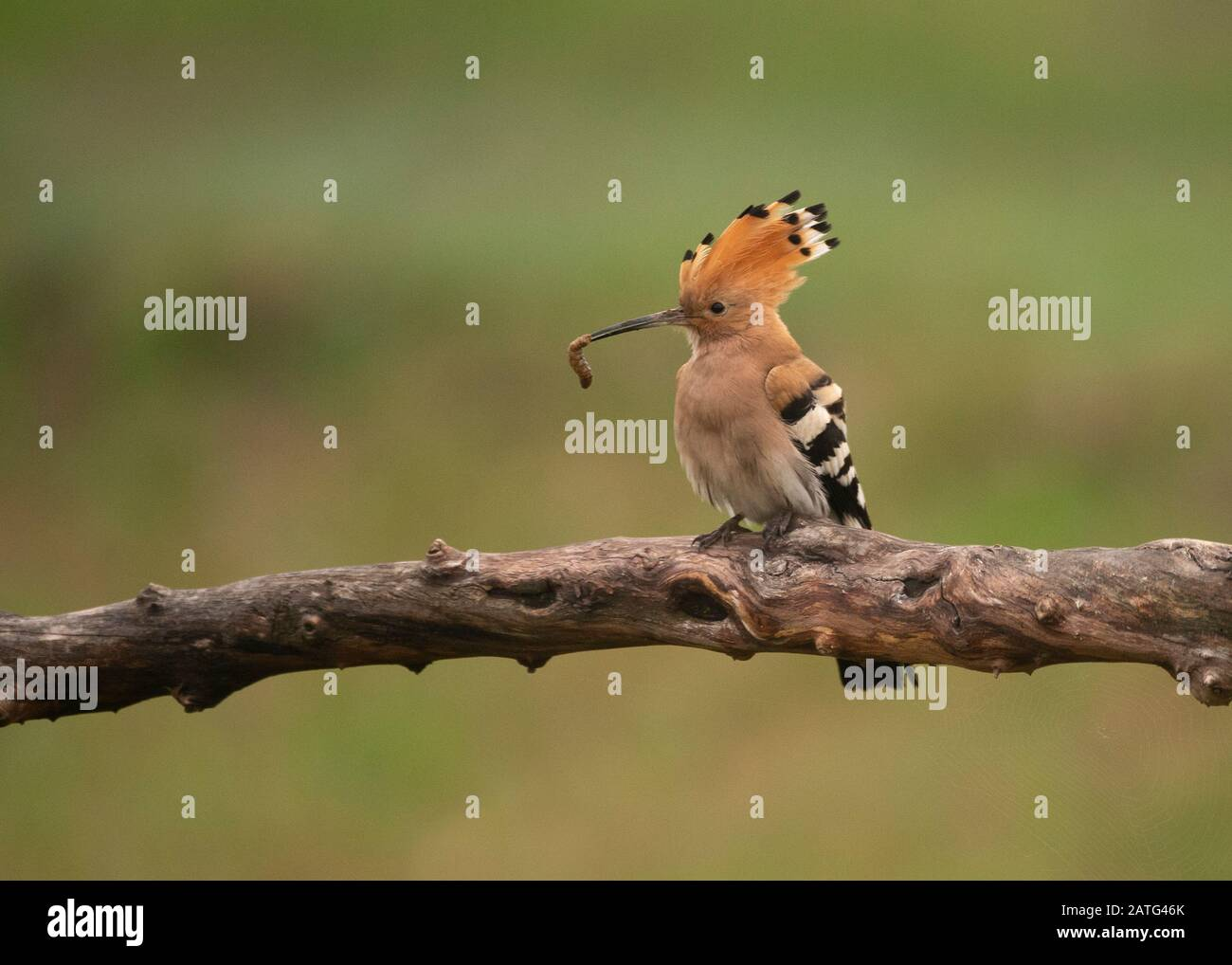 Hoopoe (Upupa epops), sitting on log, with food in its bill, Hortobágy National Park, Hungary Stock Photo