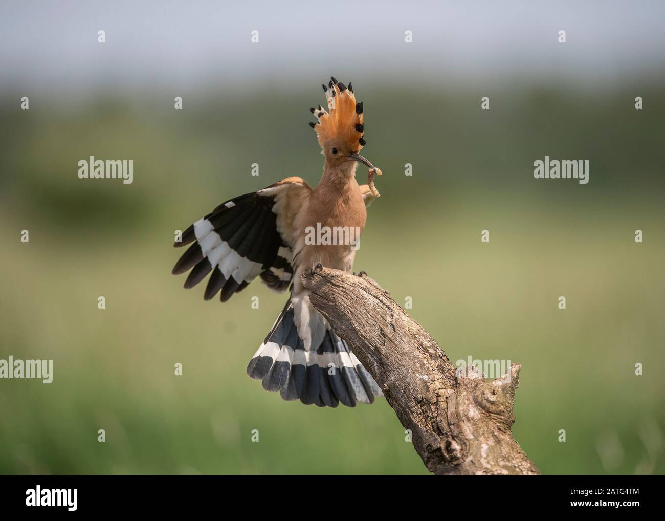 Hoopoe (Upupa epops), landing on branch with food in its bill, Hortobágy National Park, Hungary Stock Photo