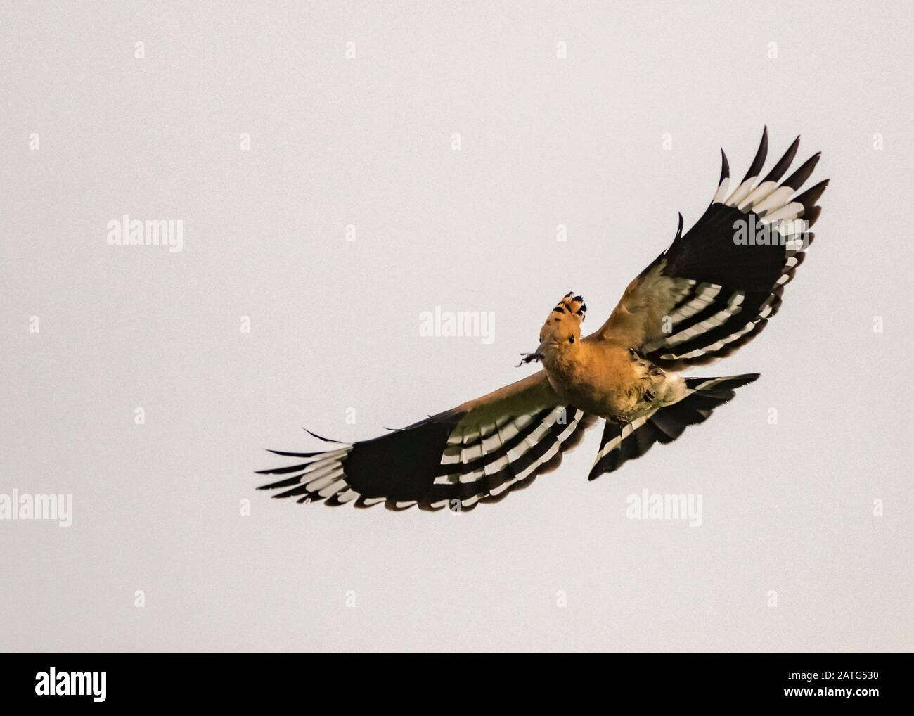 Hoopoe (Upupa epops), in flight, carrying food, Hortobágy National Park, Hungary Stock Photo