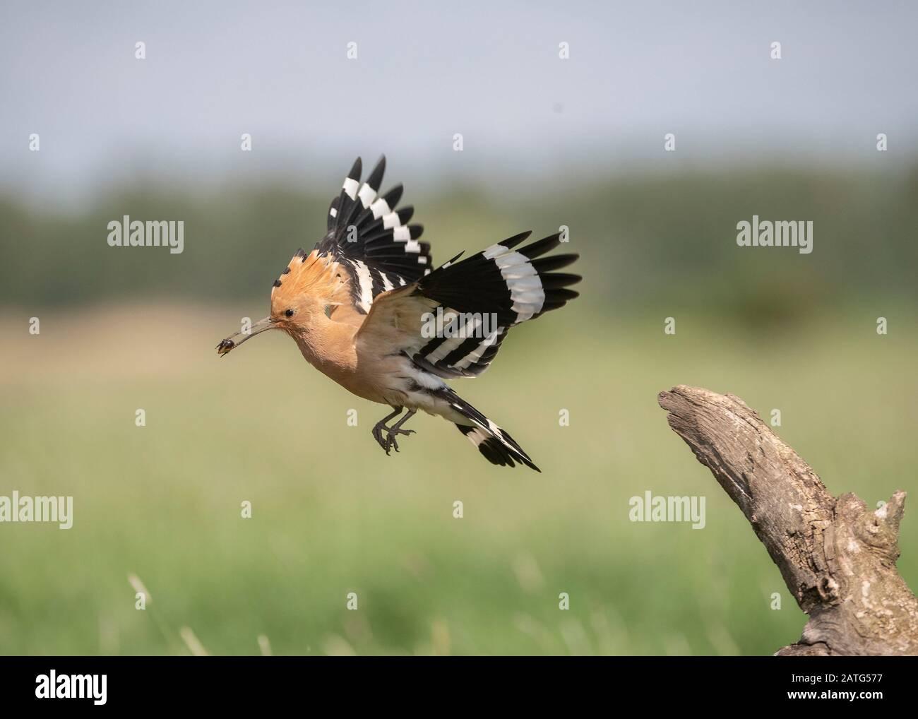 Hoopoe (Upupa epops), in flight with food in its bill, Hortobágy National Park, Hungary Stock Photo