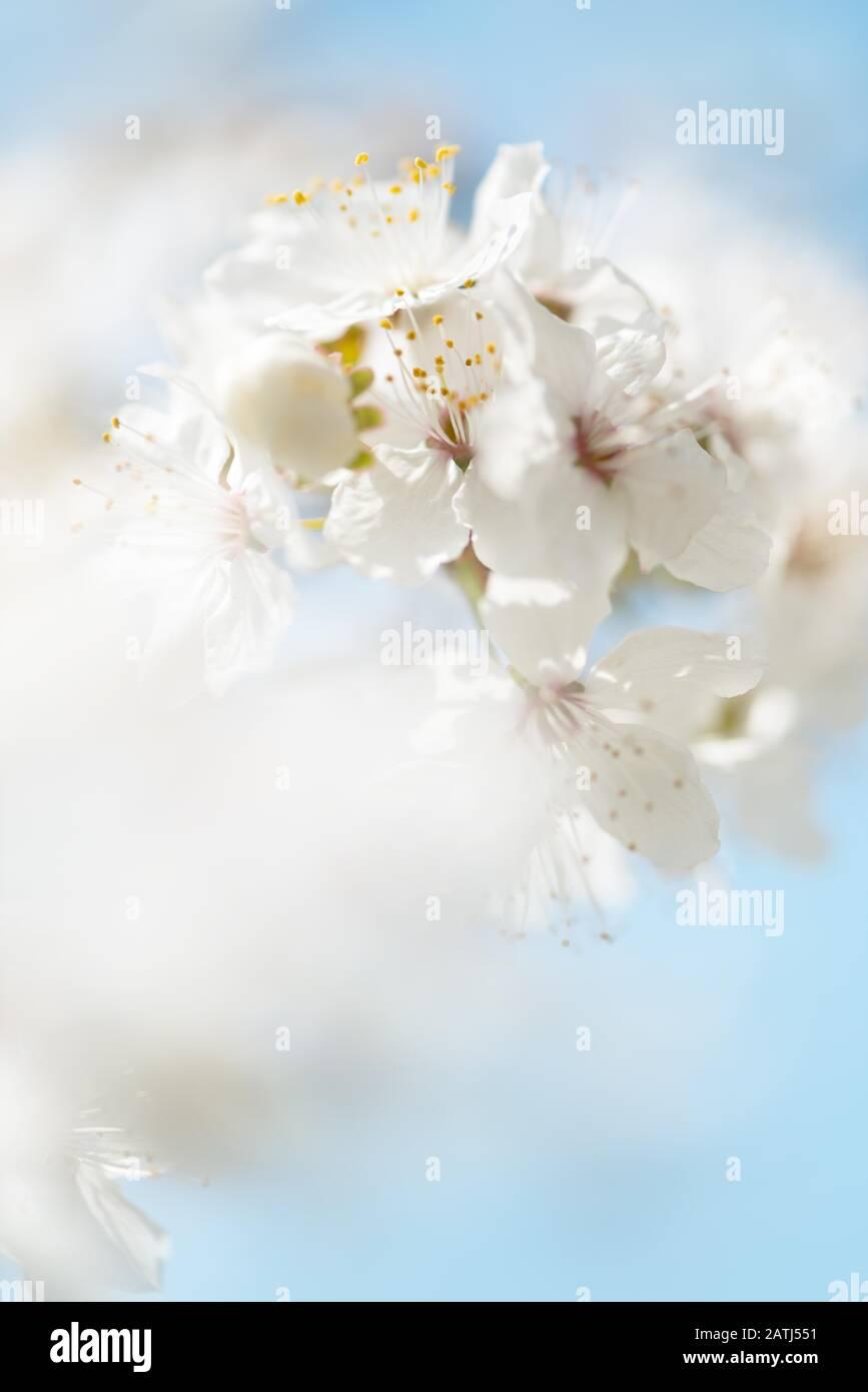 Cherry blossoms, wild cherry, Wild cherry (Prunus avium), detail, Germany Stock Photo