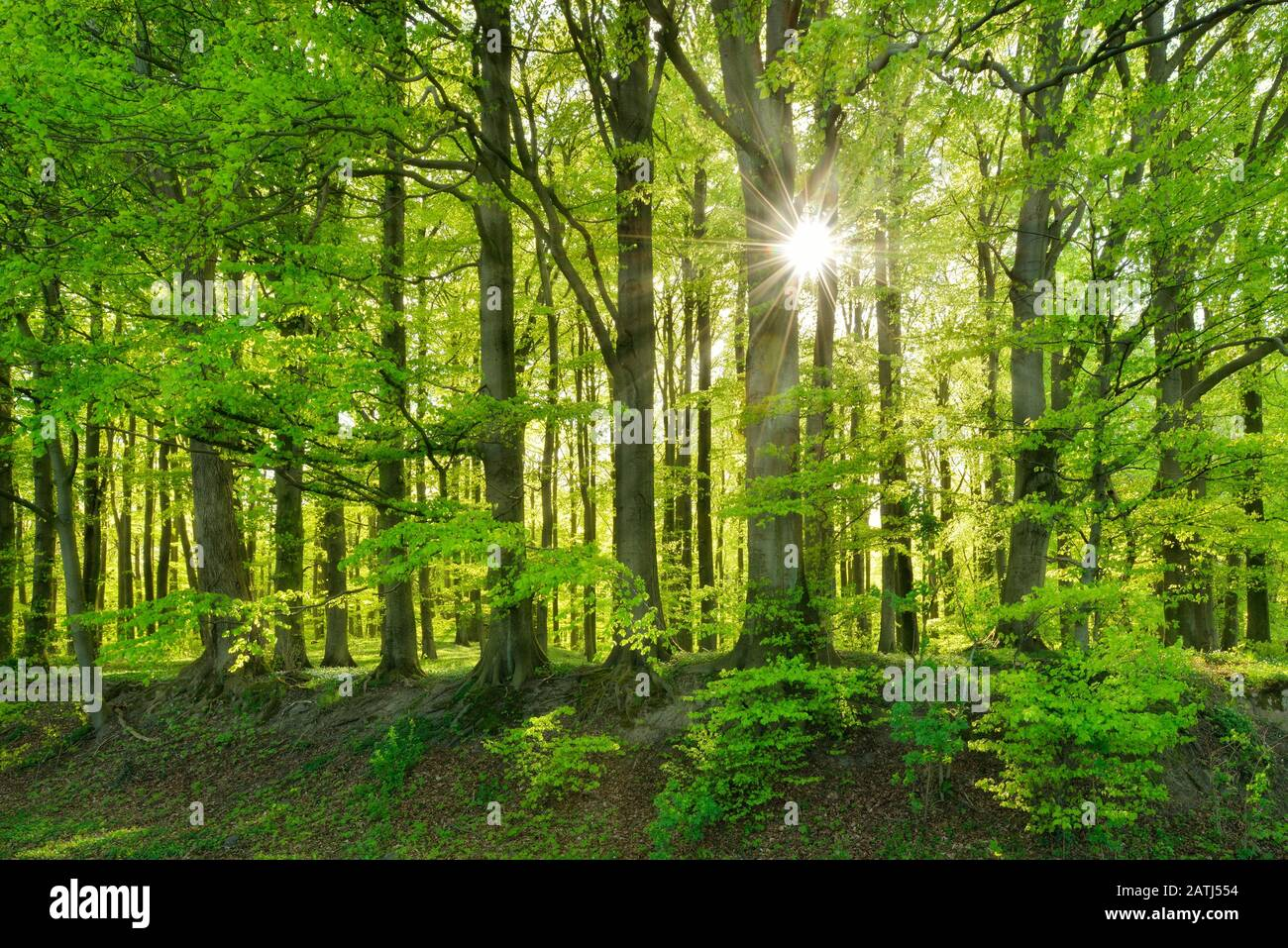 Natural Beeches forest (Fagus) in spring, sun shines through the foliage, Jasmund National Park, Ruegen Island, Mecklenburg-Western Pomerania, Germany Stock Photo