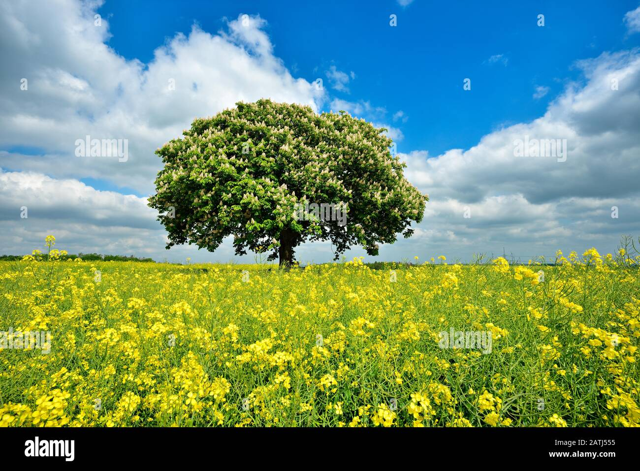 Flowering horse chestnut (Aesculus) in flowering rape field under blue sky with clouds in spring, Harz foreland, Saxony-Anhalt, Germany Stock Photo