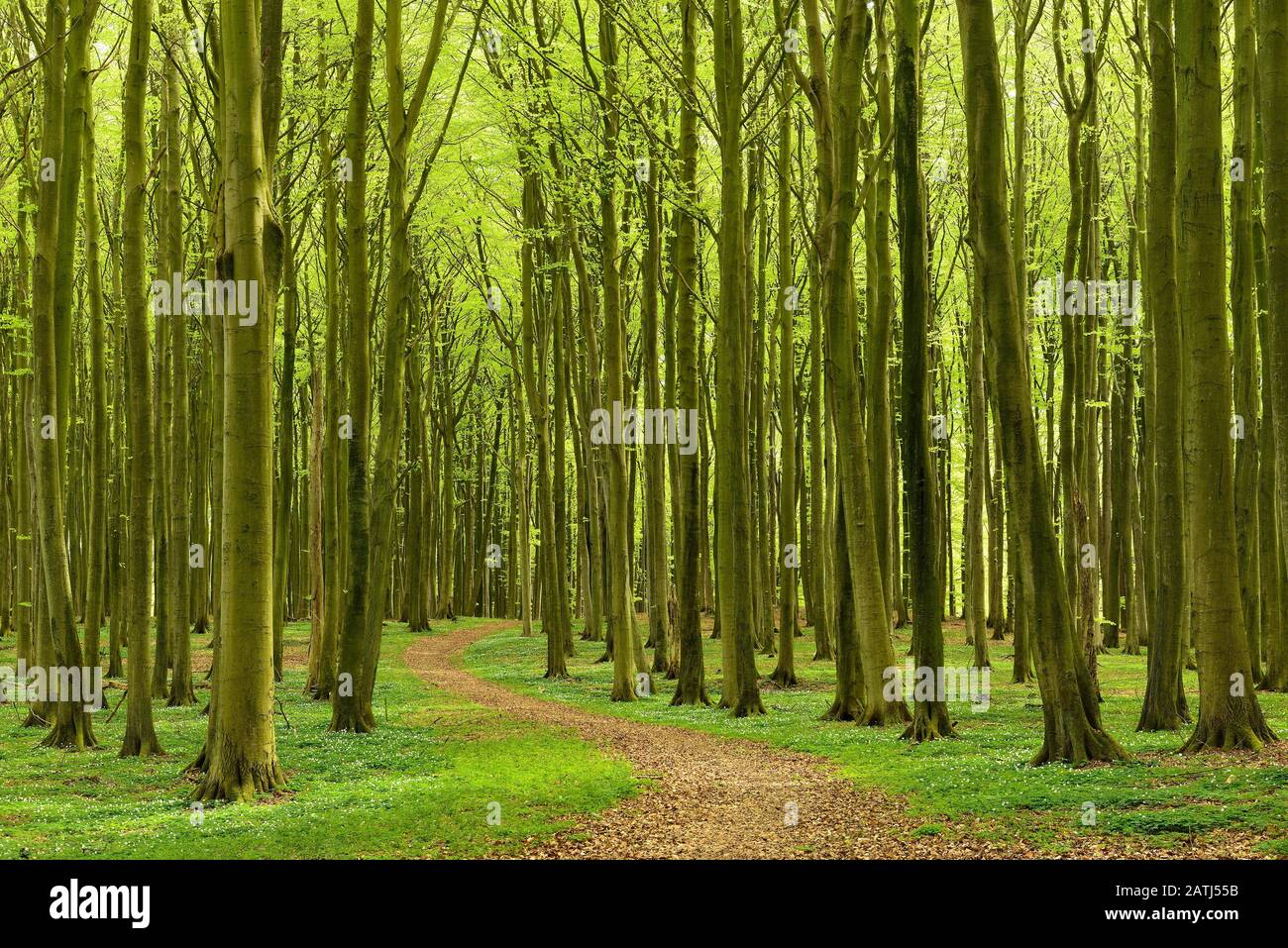 Hiking trail winds through semi-natural, hall-like Beeches forest (Fagus) in spring, anemones in bloom, Jasmund National Park, Ruegen Island Stock Photo