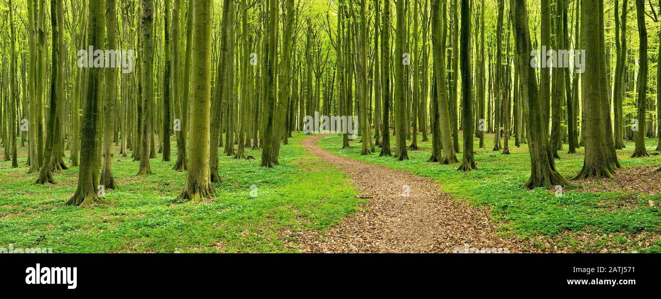 Panorama, hiking trail winds through semi-natural, hall-like Beeches forest (Fagus) in spring, anemones in bloom, Jasmund National Park, Island of Stock Photo