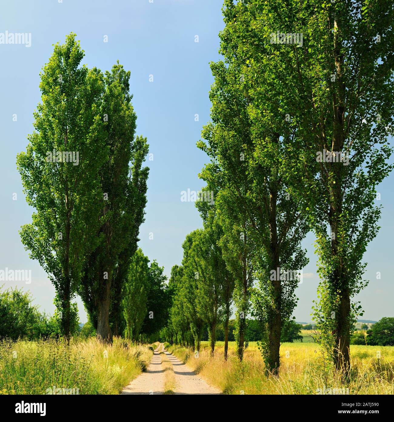 Field path through poplar avenue in summer, Mecklenburg-Western Pomerania, Germany Stock Photo