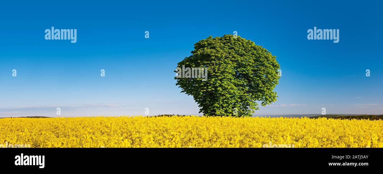 Panorama, Horse chestnut (Aesculus) in flowering rape field under blue sky in spring, Burgenlandkreis, Saxony-Anhalt, Germany Stock Photo