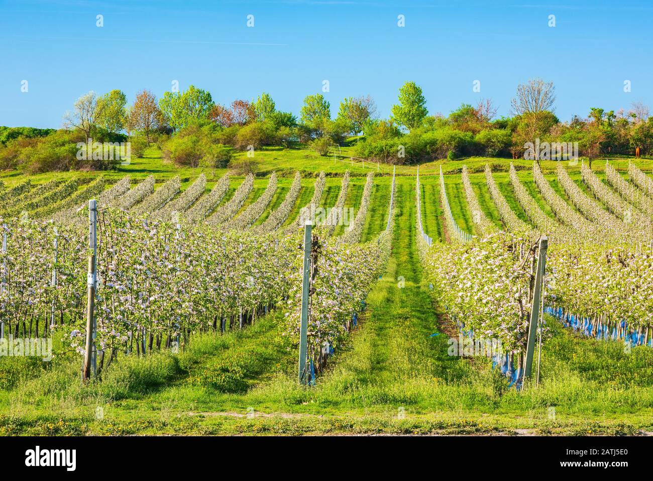 Fruit plantation in spring, flowering Apple trees (Malus domestica), fruit growing area, Aseleben, Saxony-Anhalt, Germany Stock Photo