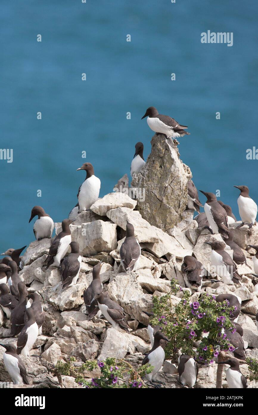 Common Guillemots or Common Murres, Uria aalge, colony nesting on sea stack.  Castlemartin, Pembrokeshire, Wales, UK Stock Photo