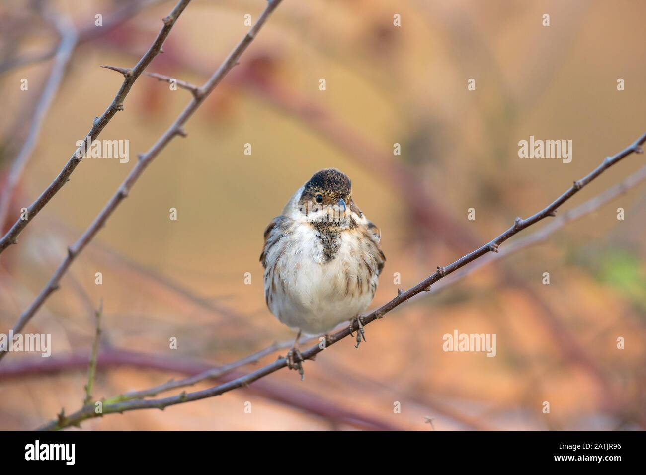 Front View Close Up Of Wild Male Uk Reed Bunting Bird Emberiza Schoeniclus In Winter Plumage Isolated Outdoors Perching On Branch British Birds Stock Photo Alamy