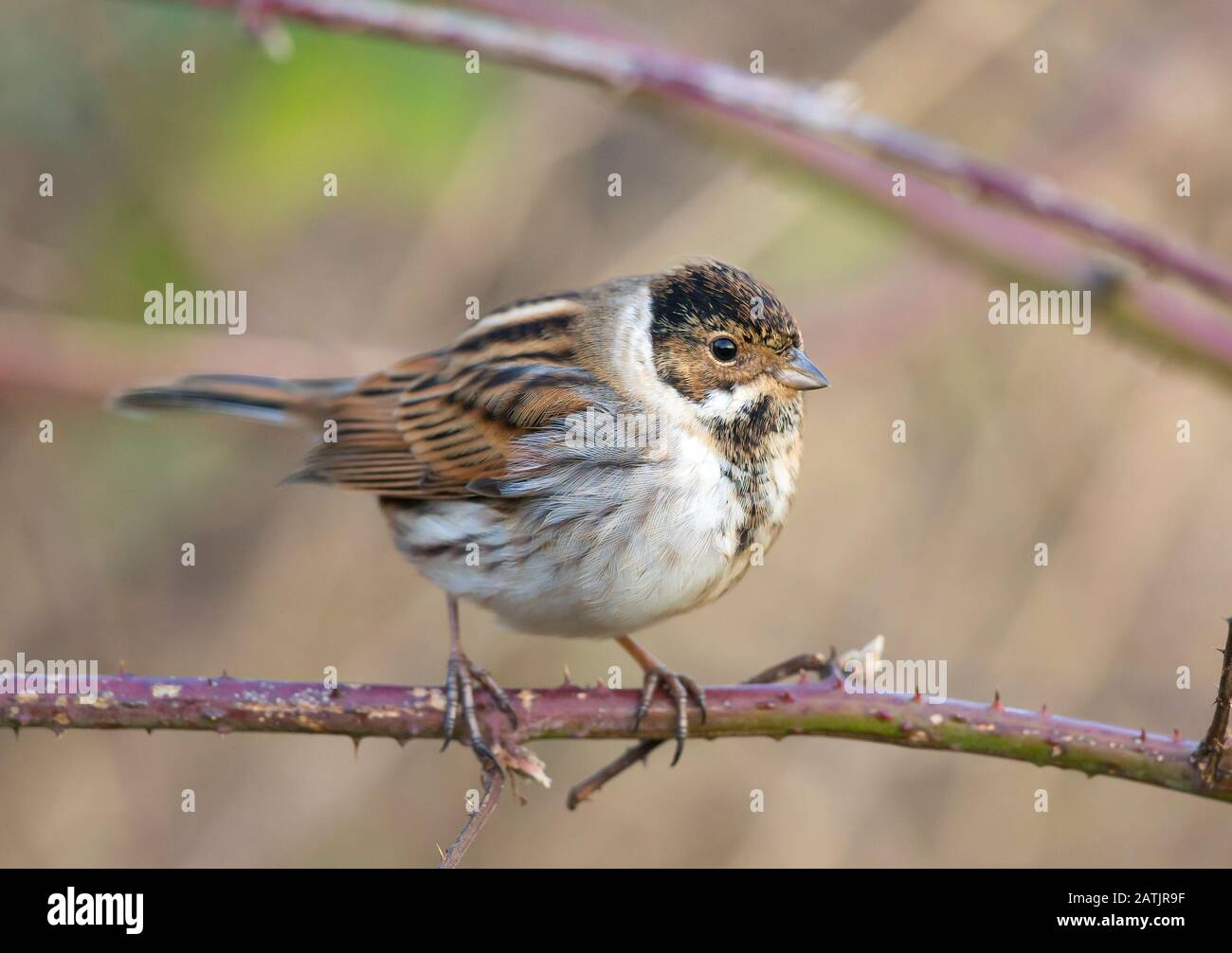 Side View Close Up Of Common Male Reed Bunting Bird Emberiza Schoeniclus Uk In Winter Plumage Isolated Outdoors Perching On Branch British Birds Stock Photo Alamy