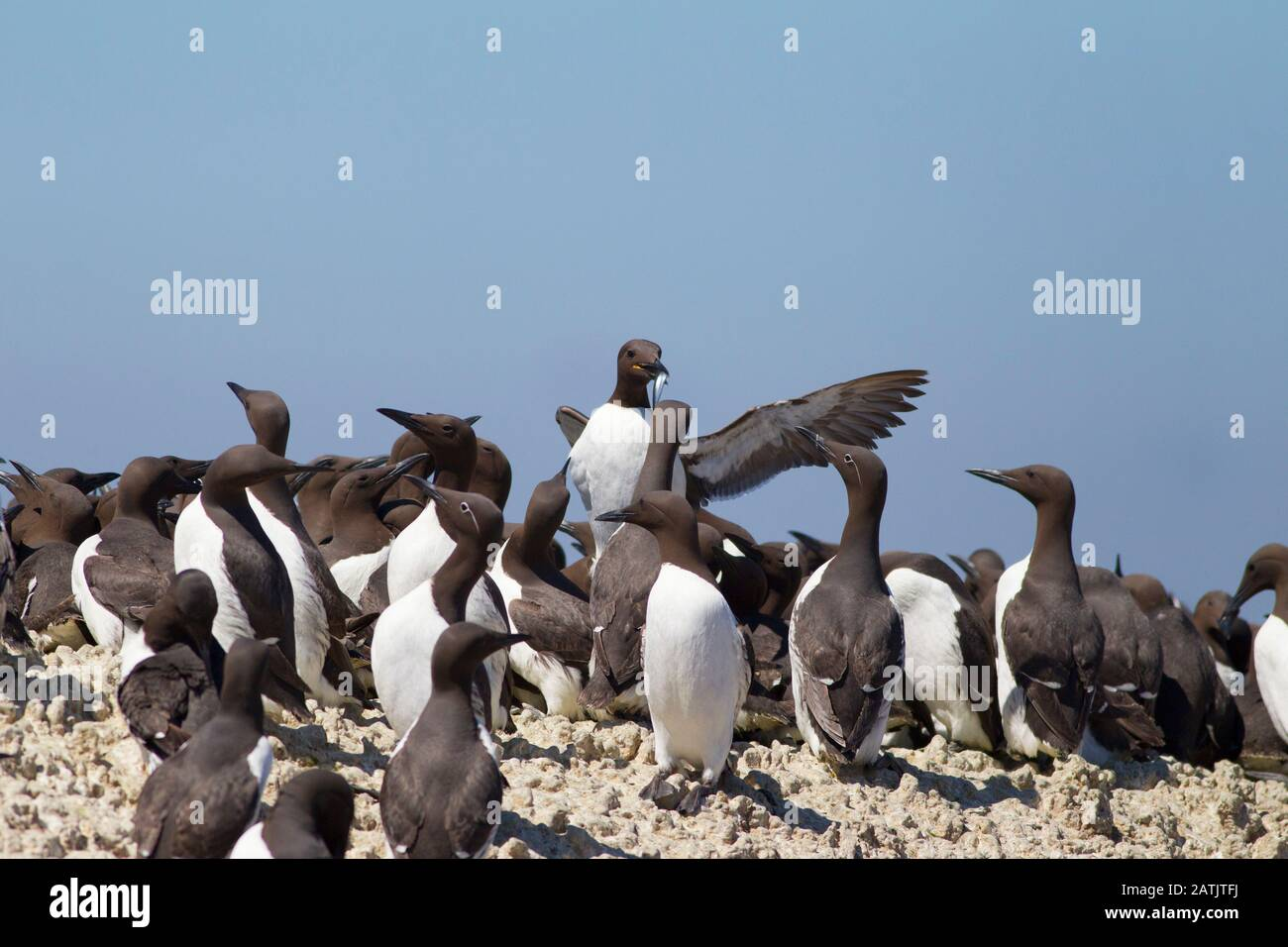 Common Guillemots or Common Murres, Uria aalge, nesting colony.  Farne Islands, Northumberland, UK Stock Photo