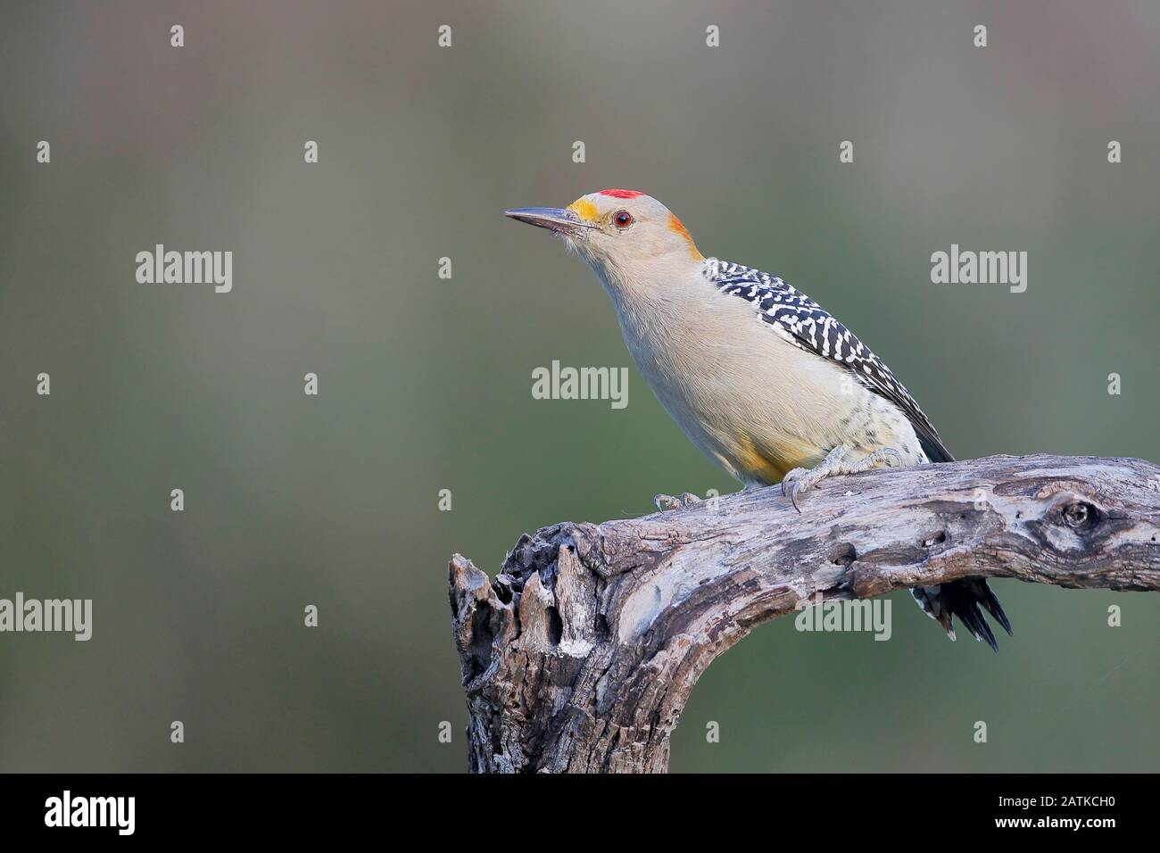 Golden-fronted Woodpecker (Melanerpes aurifrons) on tree in South Texas, USA Stock Photo