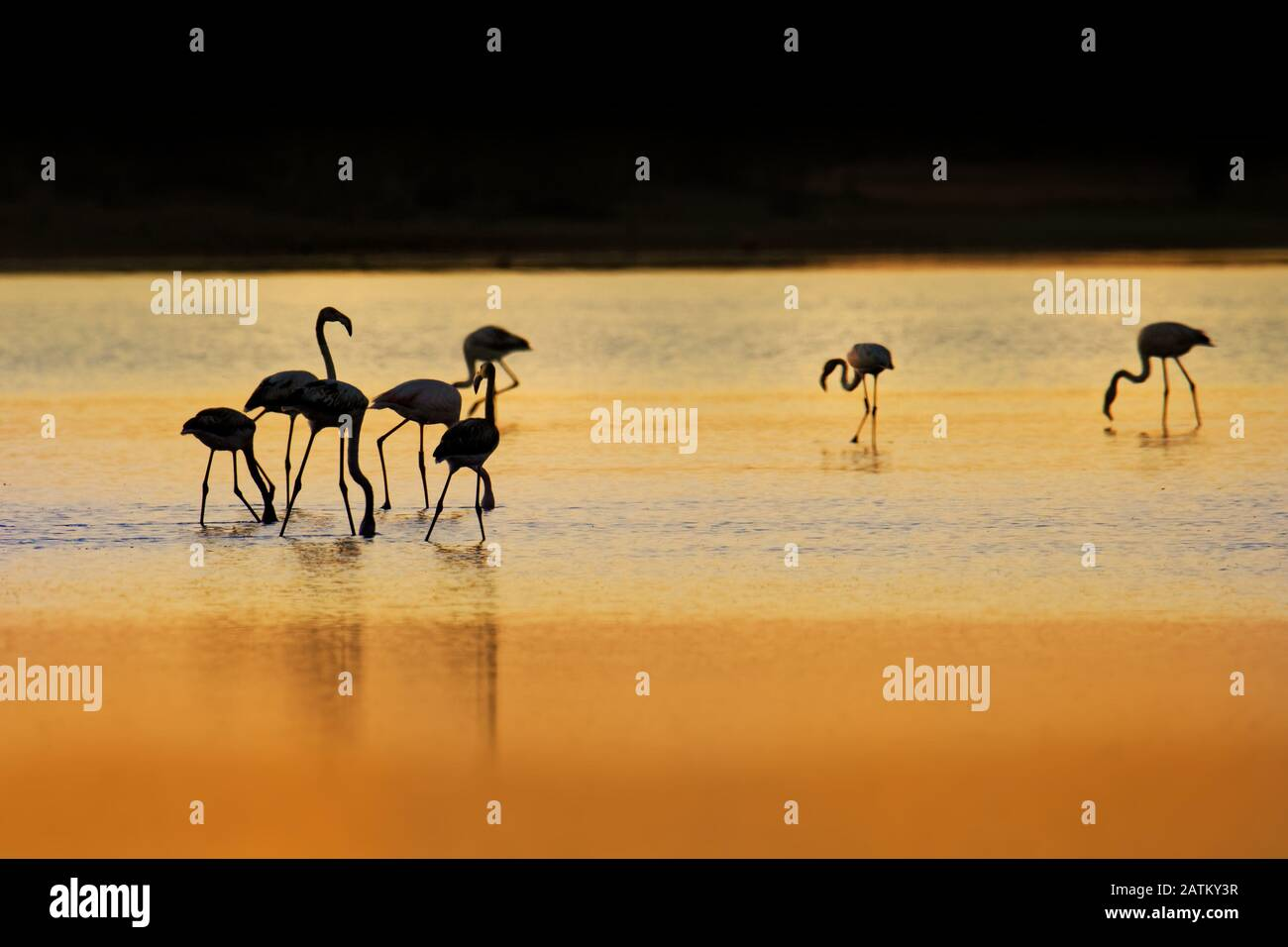 Greater Flamingo - Phoenicopterus roseus the most widespread and largest species of flamingo family, found in Africa, India, Middle East and southern Stock Photo