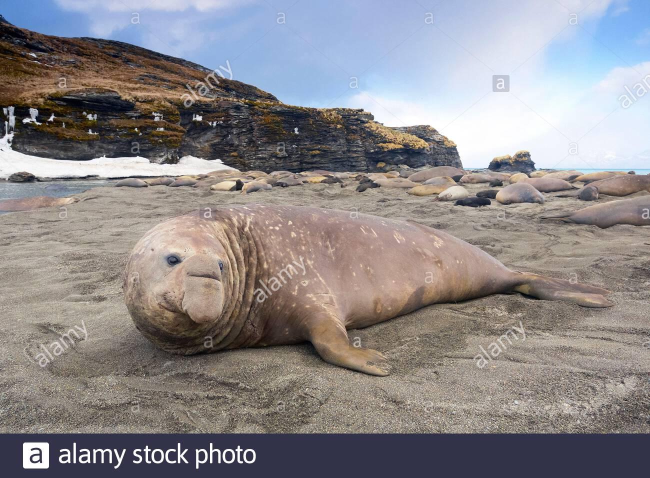 South Georgia Island, Moltke Harbor, Southern elephant seal (Mirounga leonina) Stock Photo