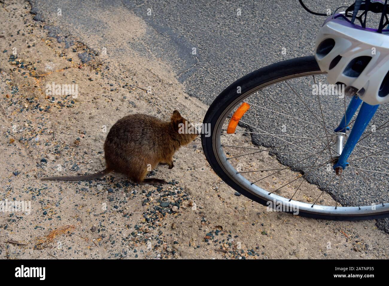 Australia, curious Quokka with bicycle on Rottnest Island Stock Photo -  Alamy