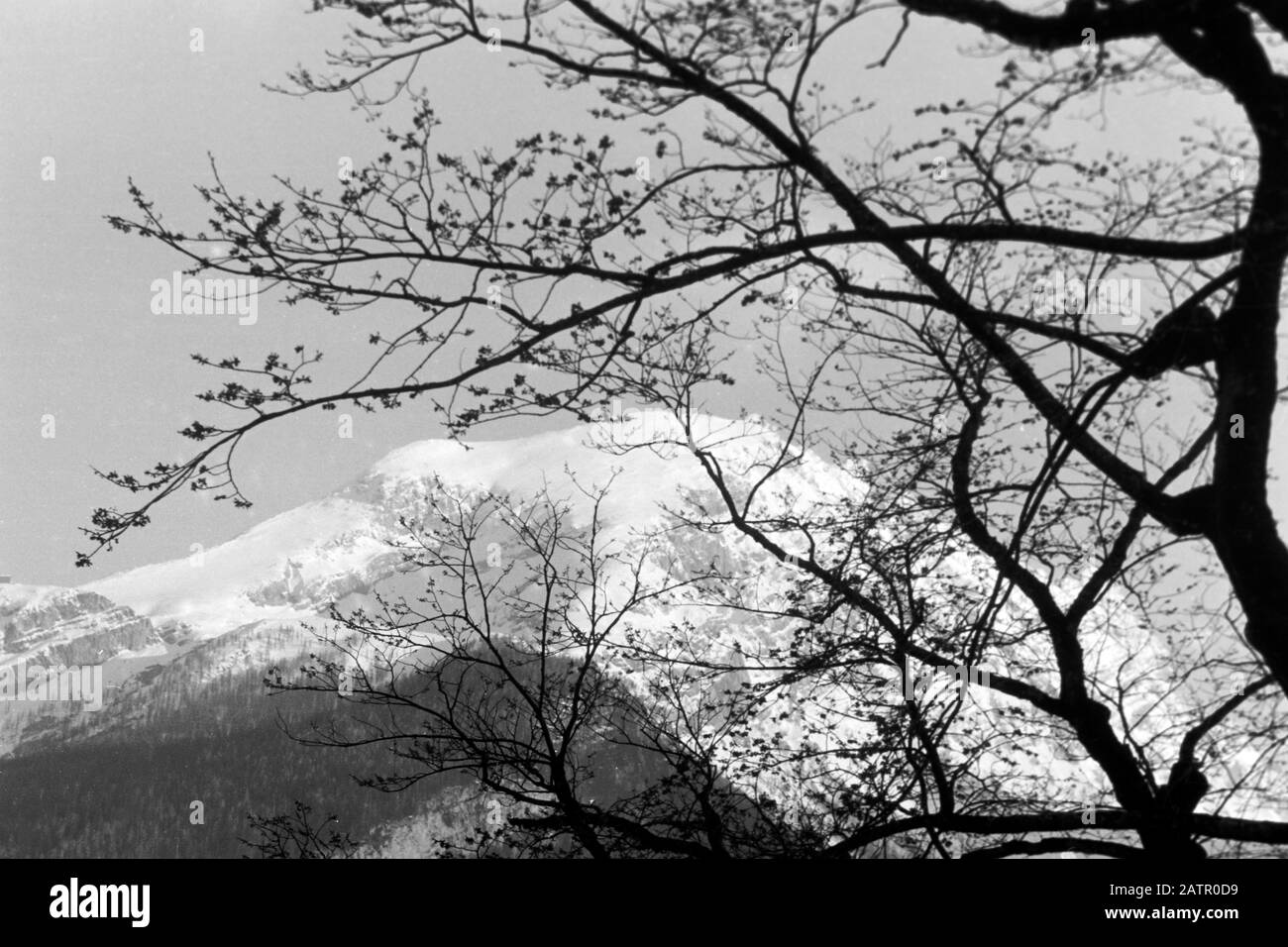 Äste verdecken den Blick auf den Hohen Göll mit Eckersattel auf dem das Purtschellerhaus steht, durch das die deutsch-österreichische Grenze verläuft, 1957. Tree branches cover the view of Hoher Göll and Eckersattel, on top of which sits Purtschellerhaus, marking the border between Germany and Austria, 1957. Stock Photo