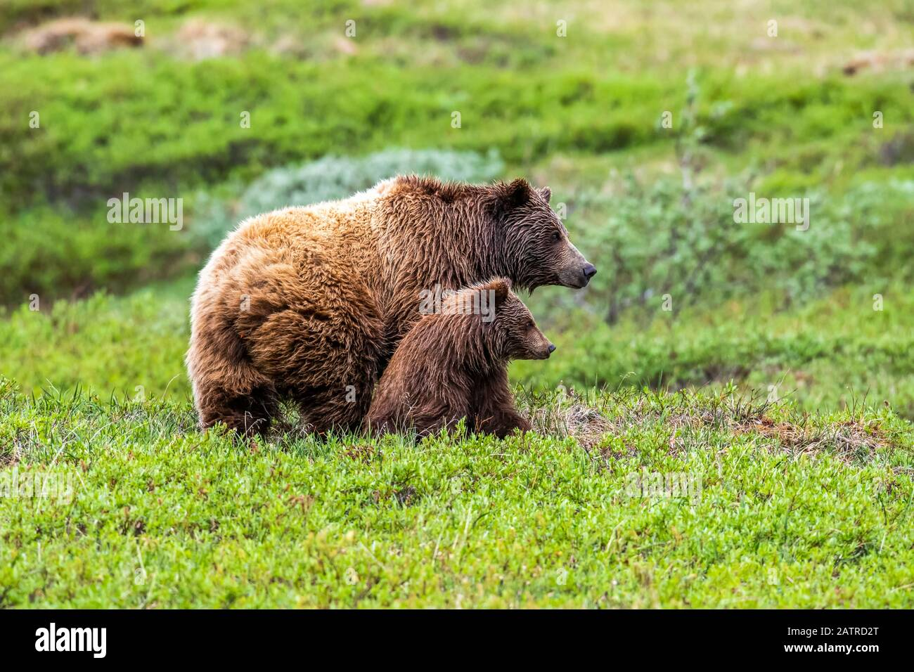 Grizzly bear (Ursus arctos horribilis) sow and cub on tundra, Denali National Park and Preserve; Alaska, United States of America Stock Photo