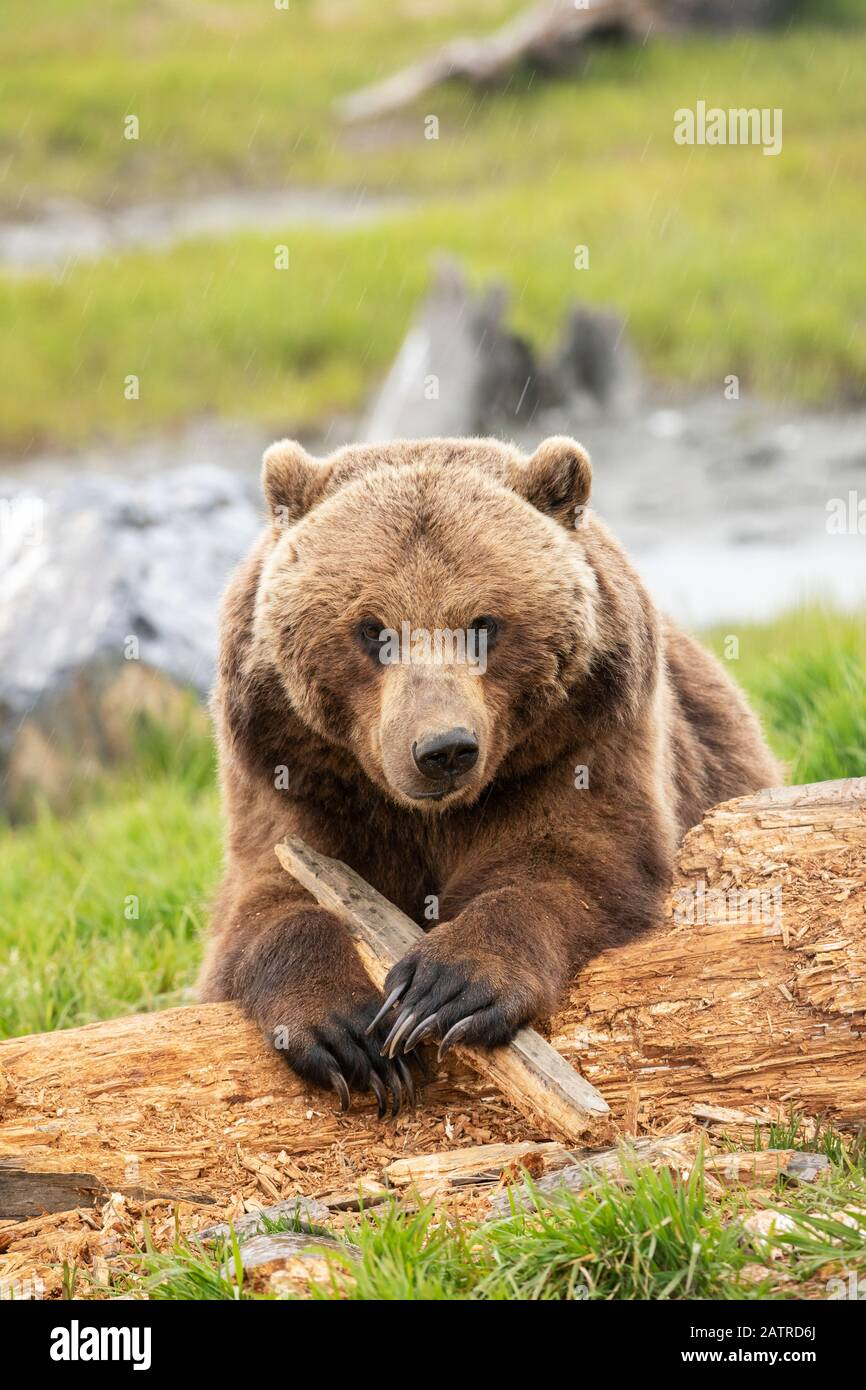 Grizzly bear sow (Ursus arctos horribilis) looks at camera as it plays with a stick, Alaska Wildlife Conservation Center, South-central Alaska Stock Photo