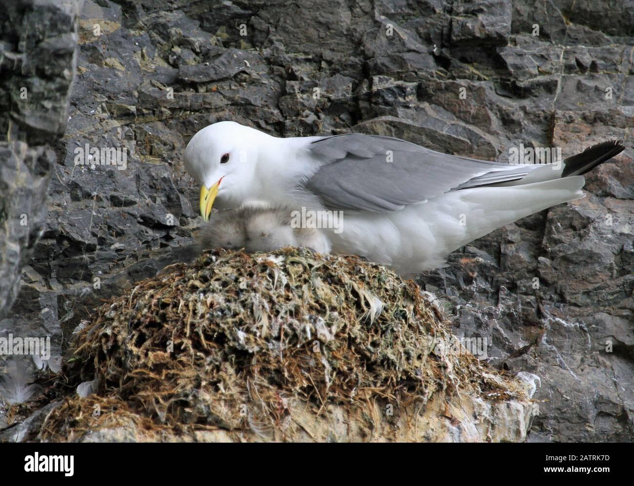 Svalbard bird life Stock Photo