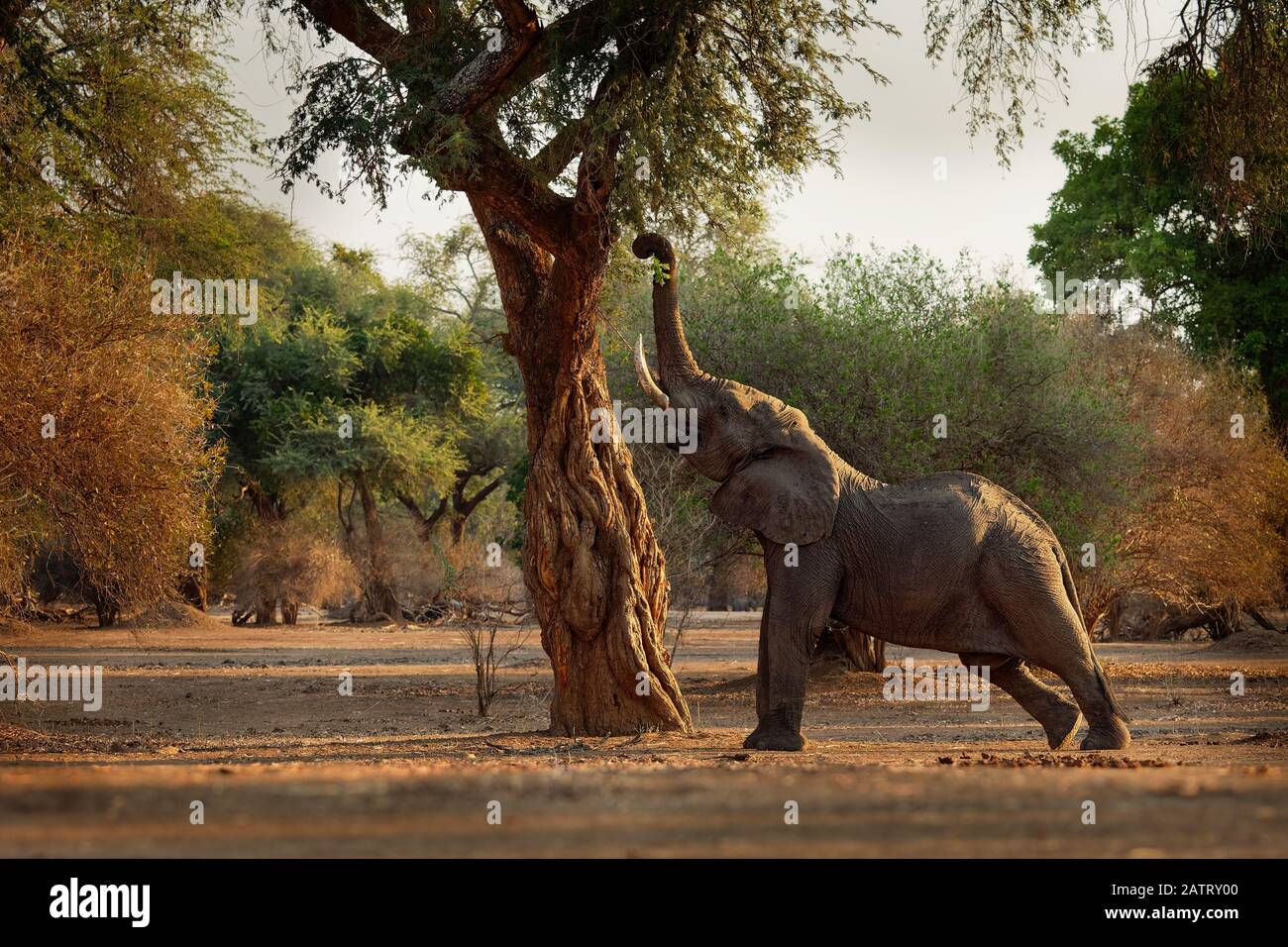 African Bush Elephant - Loxodonta africana in Mana Pools National Park in Zimbabwe, standing in the green forest and eating or looking for leaves. Stock Photo