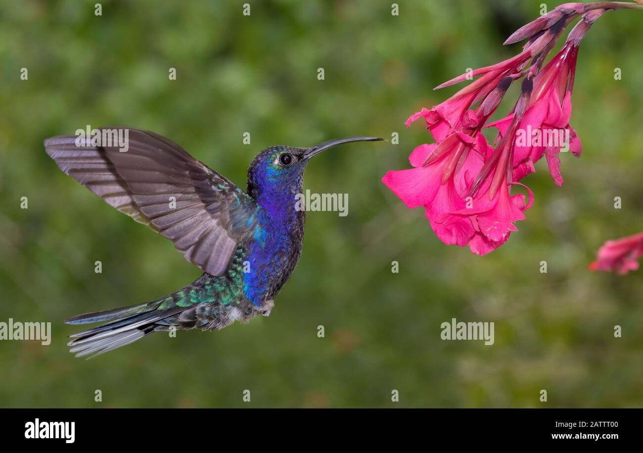 Male Violet Sabrewing (Campylopterus hemileucurus) hummingbird flying, Alajuela, Costa Rica Stock Photo
