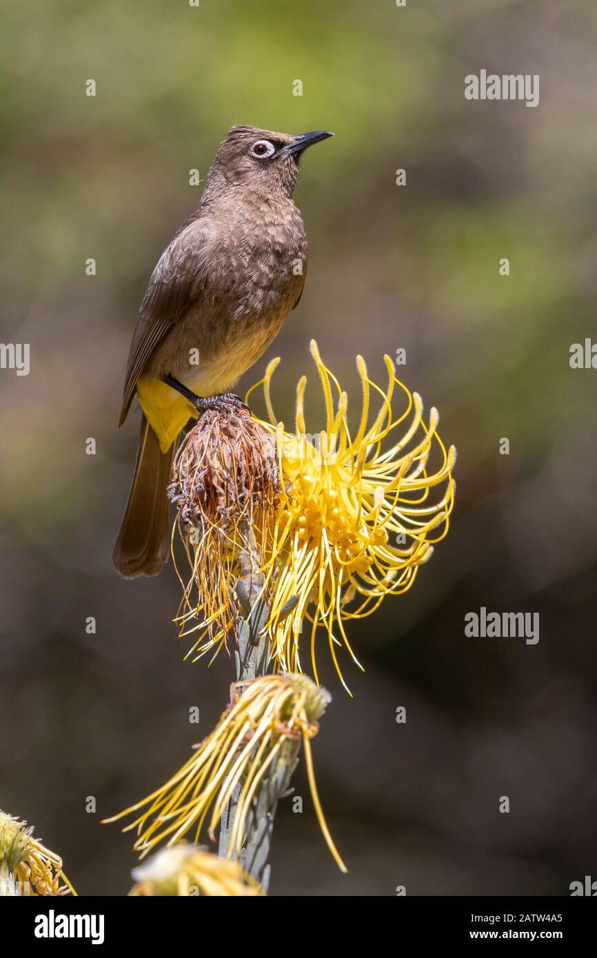 Cape Bulbul (Pycnonotus capensis), adult perched on a flower, Western Cape, South Africa Stock Photo