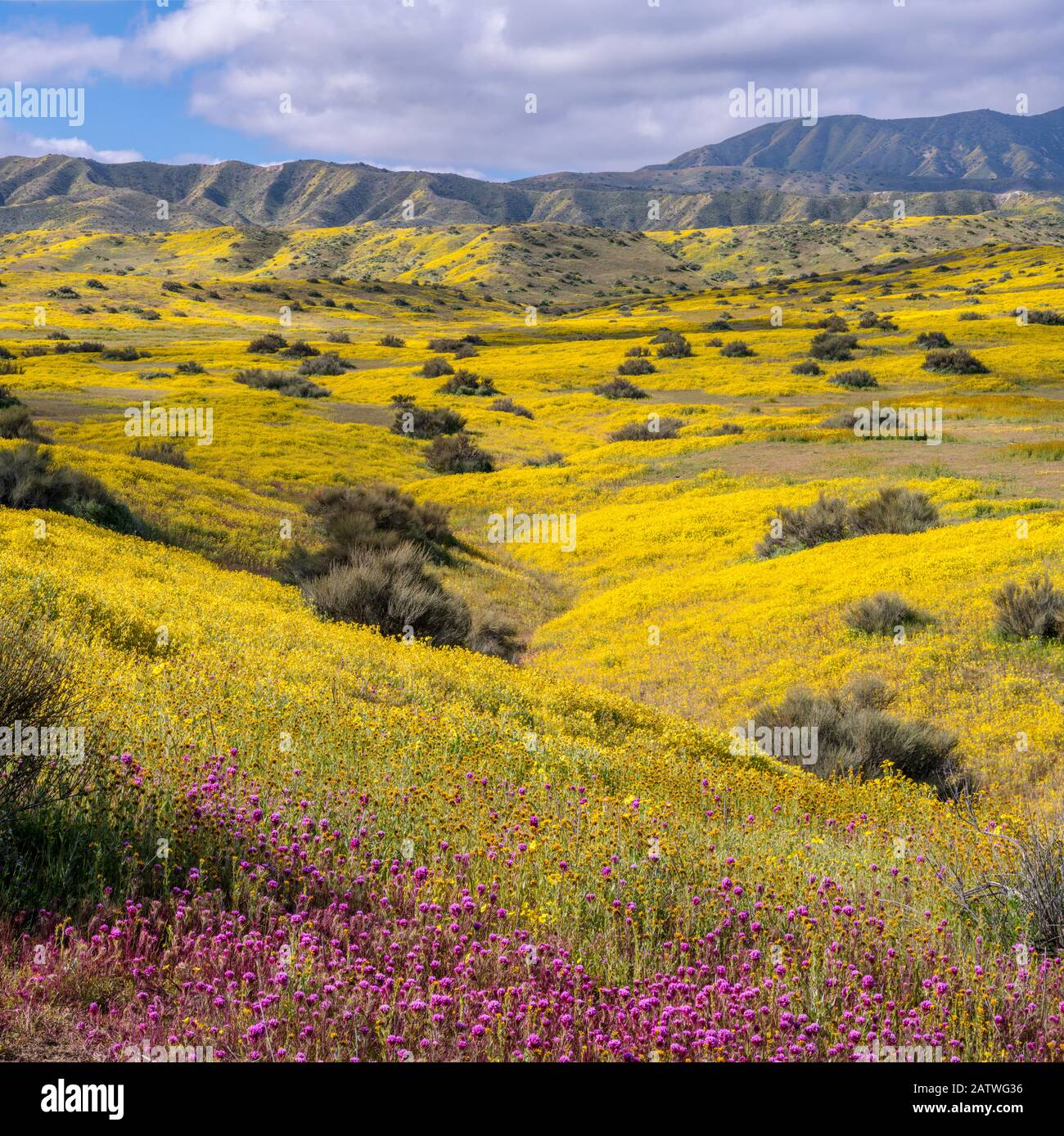 Foothills of the Temblor Range, carpeted with Coreopsis (yellow) and Purple Owls Clover (Castilleja exserta) flowers. Carrizo Plain, California, USA. 30th March 2019. Stock Photo
