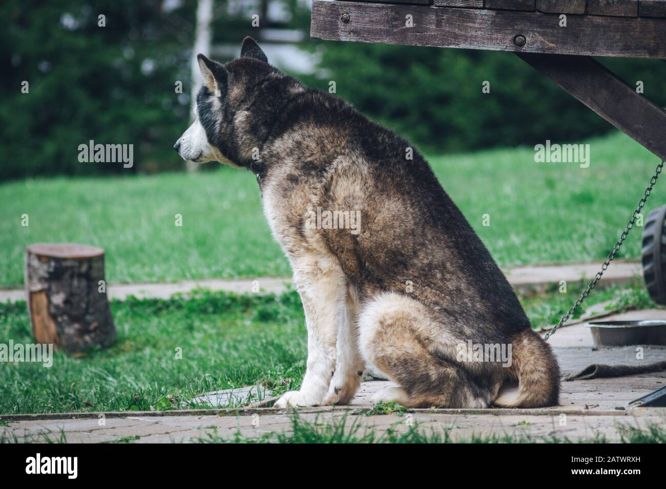 Husky dog is waiting in the yard Stock Photo